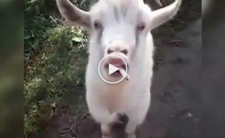 Прикольные козлы и козлята