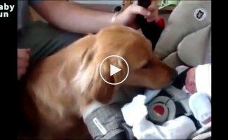 Собаки впервые видят младенцев