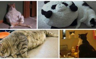 20 упитанных котов, которые плевать хотели на эти ваши диеты (21фото)