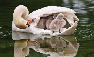 Птицы, которые заботятся о своём потомстве (10фото)
