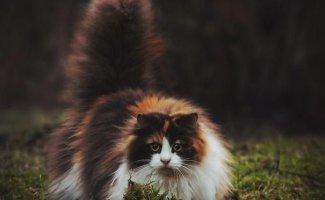 Коты огромные, но добродушные (19фото)