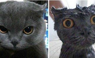 Помытые и оскорбленные: 8 котов, принявших ванну (8фото)