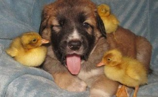 Подборка замечательных фотографий, и неожиданных примеров дружбы между животными (25фото)