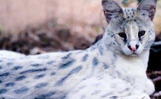 Кошачьи - Сервал или африканская дикая кошка (28фото)