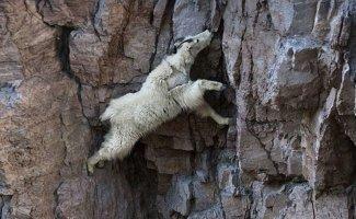 Горным козлам неведома боязнь высоты (17фото)