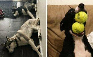 18 фотографий, которые на 50% состоят из собак, а на другие 50% — из их дурашливости (19фото)